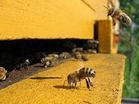Bienensterben in den USA