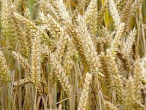 Gen-Weizen 56% ertragsärmer