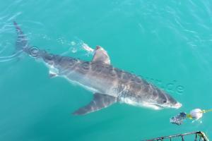 Shark Cage Diving & Hubschrauberflug Kapstadt