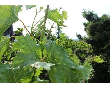 Weinrebe im Topf kultivieren