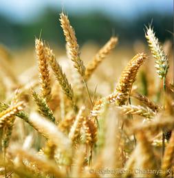 Ist Weizen / Gluten ungesund?