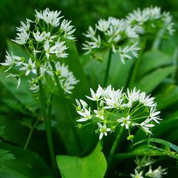 Bärlauch - das gesunde Frühjahrskraut