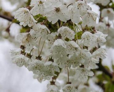 Kirschblüte im Markgräflerland 2016 – Teil 1: Regenstimmung am 17. April
