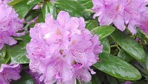 Foto: Rhododendron nach einem Regen