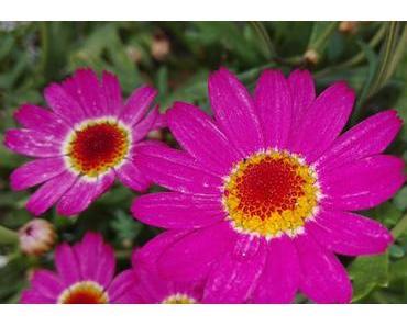 Foto: Margeriten in Pink