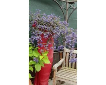 Säckelblume – Ceanothus Blue Saphier