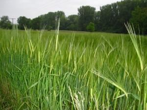 Gefahr durch Weizen – was ist dran? (Teil 1)