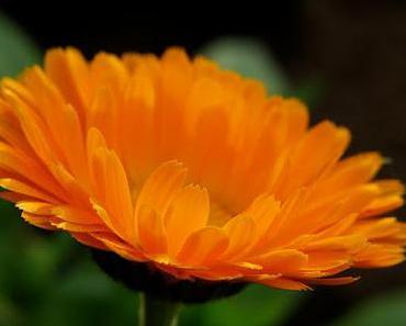 Die Ringelblumensalbe - Heilmittel für den Alltag