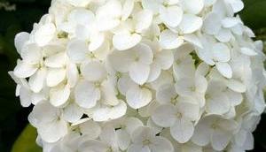Foto: Hortensienblüte Weiß
