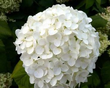 Foto: Hortensienblüte in Weiß