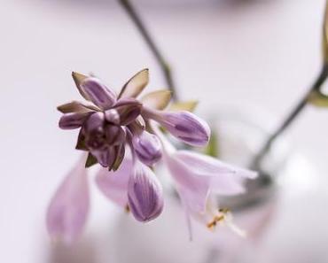 Flowers | Wenn die Funkie blüht ...
