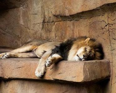 Lieber ein Jahr wie ein Löwe …