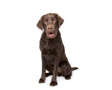 Die richtige Ernährung des Labrador Retriever