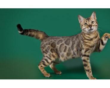 Die Bengalkatze im Portrait – Verspielte Schmusekatzen