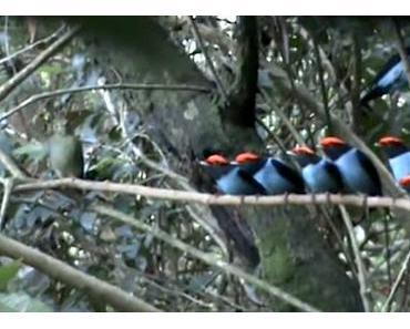 Diese niedlichen Vögel stellen sich brav an, um ihre Weibchen zu beeindrucken