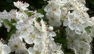 Foto: Weißdorn Blüte