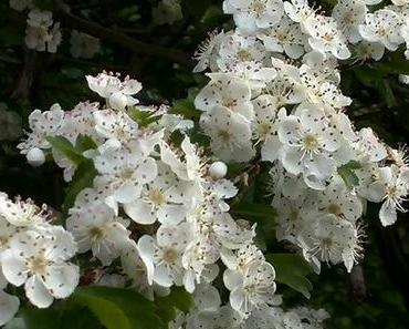 Foto: Weißdorn in Blüte