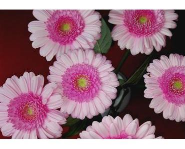 Foto: Gerbera in Pink