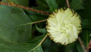 Foto: Margeritenknospe einer Birke
