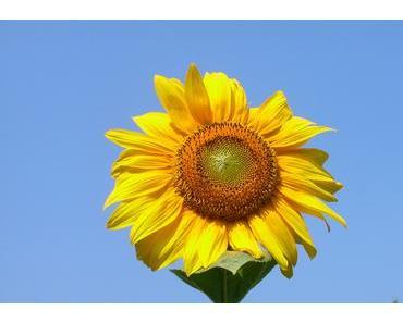 Foto: Zum Sommeranfang eine Sonnenblume