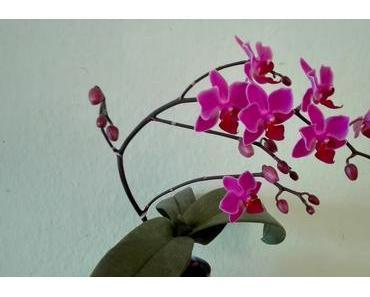 Foto: Phalaenopsis-Rispe