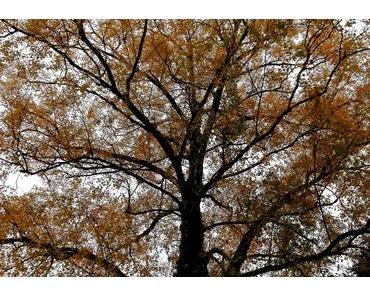 Foto: Eine Birke im Herbstkleid