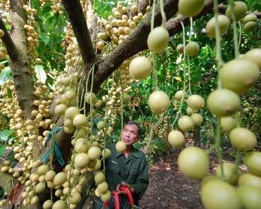 Ba Cong Obstgarten in Can Tho – Höhepunkte beim Vietnam Reisen