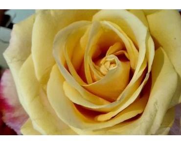 Foto: Gelbe Rose