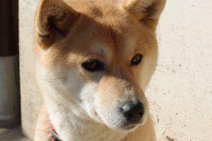 Shiba Inu: japanischer Hund und treuer Vierbeiner
