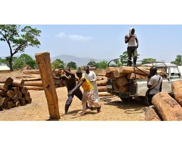 Nigeria – Raubbau an Palisander-Holz verhindern (Petition)