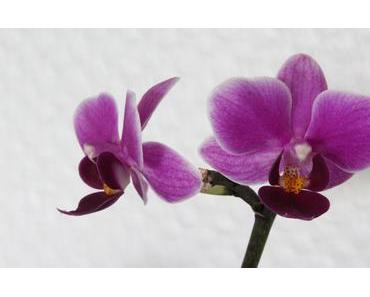 Foto: Phalaenopsisblüten