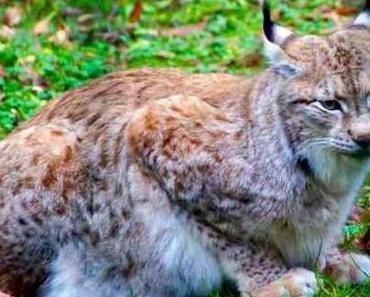 Fränkische Schweiz - Luchsfütterung im Wildpark