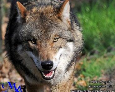 Wölfe sollen laut Union und SPD weiter getötet werden können