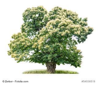 Baum des Jahres 2018 - Die Esskastanie