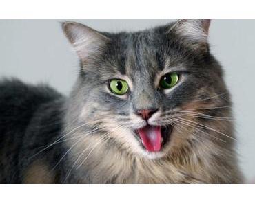 Deine Katze hechelt – harmlos oder gefährlich?