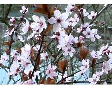 Foto: Dunkle japanische Zierkirsche in Blüte