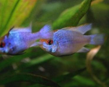 Mikrogeophagus ramirezi – Schmetterlingsbuntbarsch (blau)