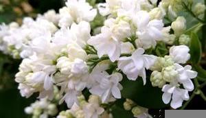 Foto: Weißer Flieder voller Blüte