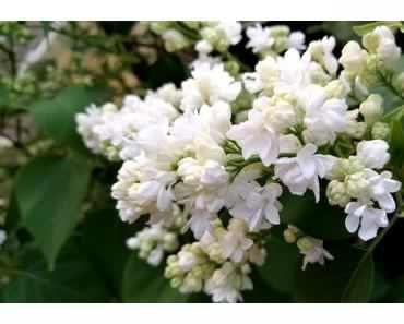 Foto: Weißer Flieder in voller Blüte
