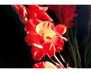 Foto: Gladiolen im Gegenlicht