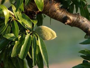 Der Mandelbaum