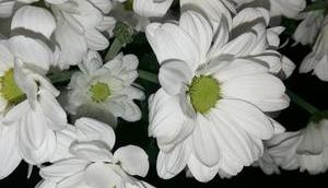 Foto: Weiße Chrysanthemen Wochenende
