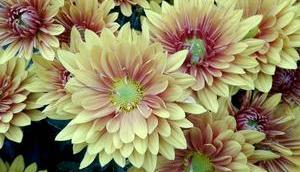 Foto: Astern pastellartigen Herbstfarben
