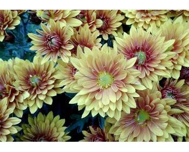 Foto: Astern in pastellartigen Herbstfarben