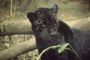 Der Jaguar