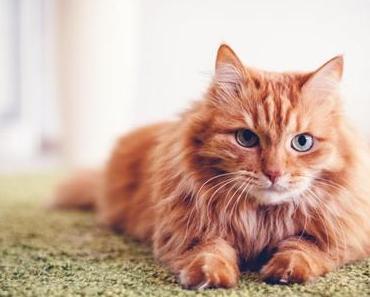 Deine Katze hat Schuppen? – Das kannst du dagegen machen