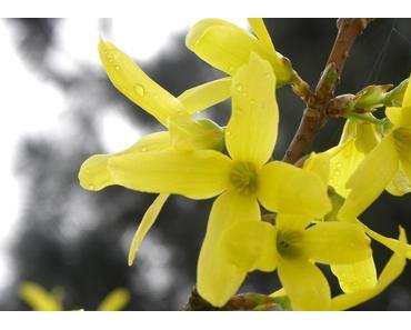 Ersten Blüten des Forsythiers lassen auf den Frühling hoffen