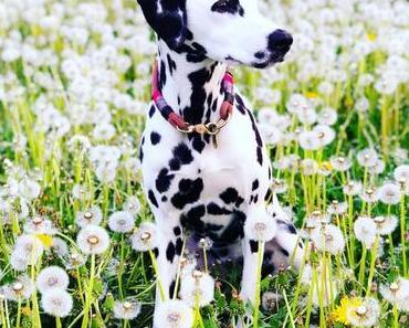 Dalmatiner-Leben: Jeder Tupfen eine Extraportion Liebe