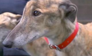 Greyhounds rennen um ihr Leben