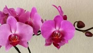 Foto: Schmetterlingsorchidee Phalaenopsis
